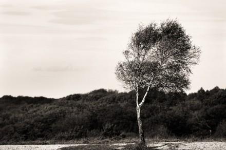 The Birch's Summer No2